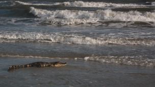 An alligator rests in the surf at Oak Island, N.C. on July 7, 2016