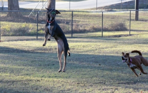 Hashbrown leaps high above Sara to catch a tennis ball at the Rotary Dog Park in Kinston, N.C. on Nov. 21, 2016