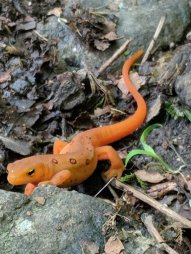 An Eastern Newt slowly crosses a path in the Blue Ridge Mountains near the Peaks of Otter.
