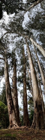 Tallest eucalyptus trees in North America on the campus of the University of California-Berkeley